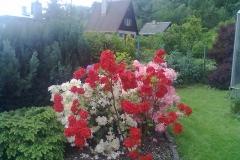 vzorová výsadba - plot v květu (7)